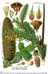 arbori-si-arbusti-ornamentali-brad-1.jpg