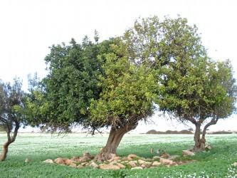 pianta-di-carrubo-copia-orghort.jpg