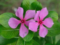 catharanthus-roseus-site.jpg