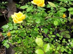 trandafir-banksiae-mic.jpg
