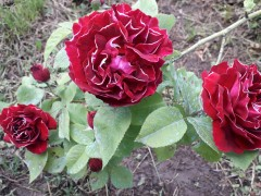 trandafir-mic.jpg